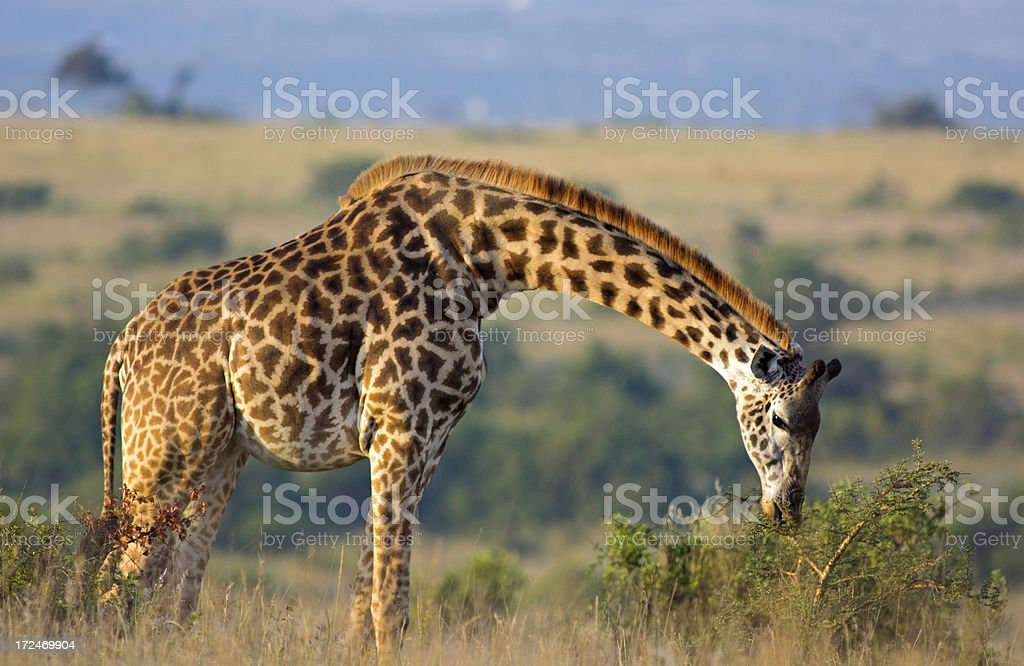 Feeding Giraffe royalty-free stock photo