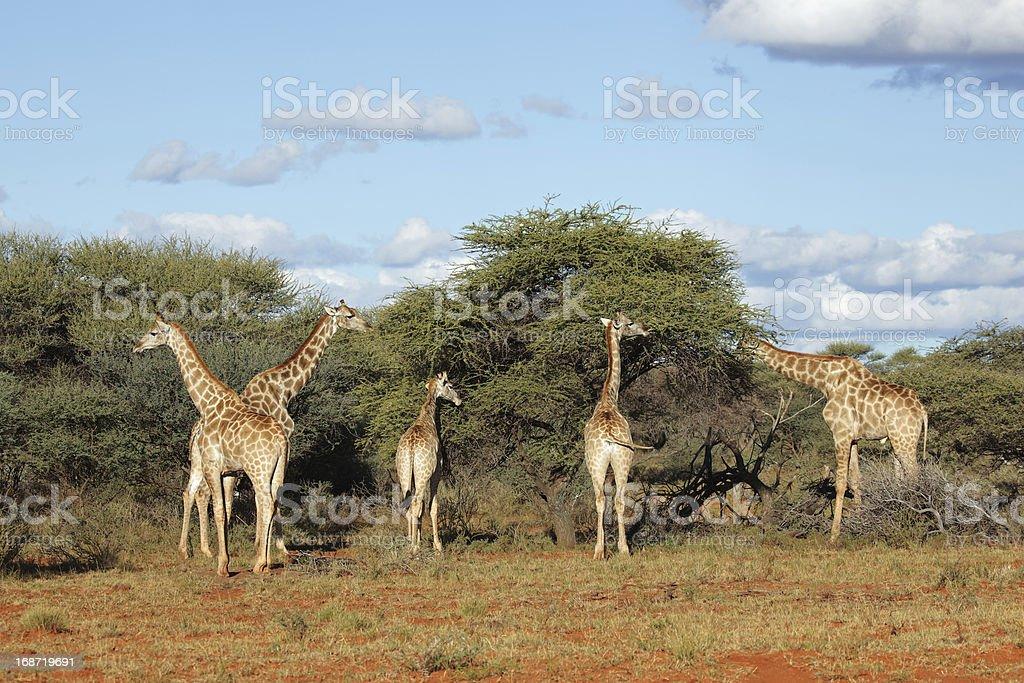 Feeding giraffes stock photo
