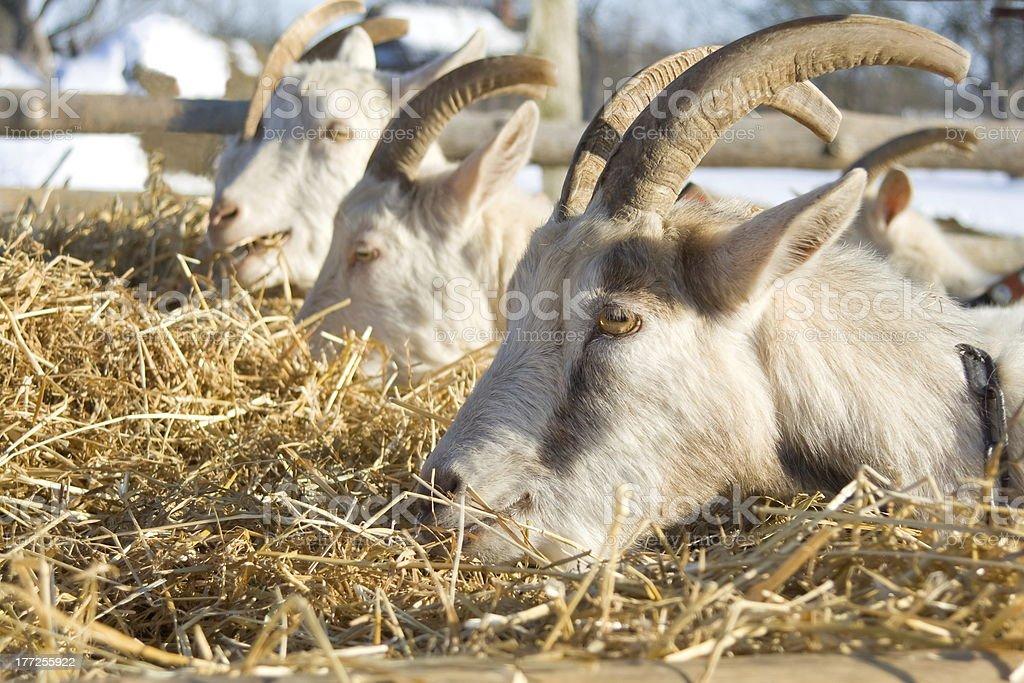 Feeding goats. royalty-free stock photo