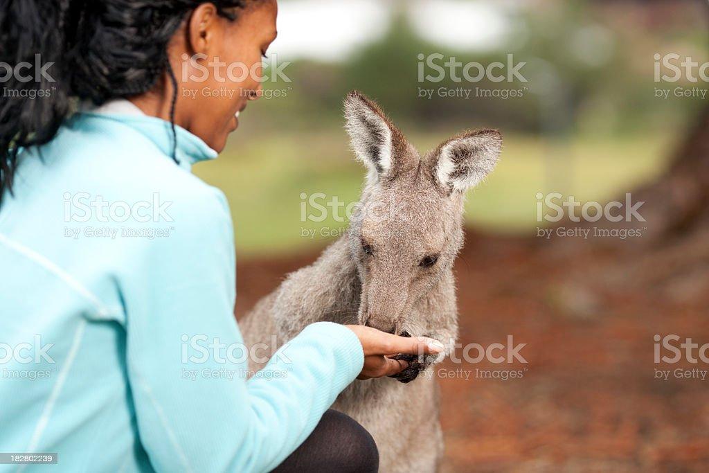 Feeding Gray Kangaroo stock photo
