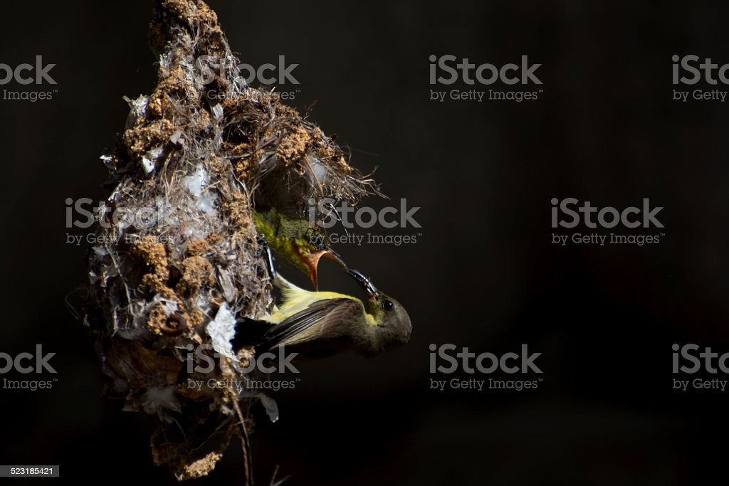 Feeding her babies royalty-free stock photo