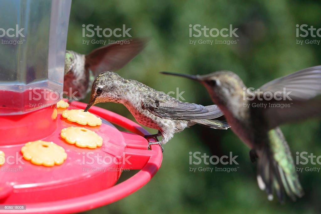 Feeding Hummingbirds stock photo