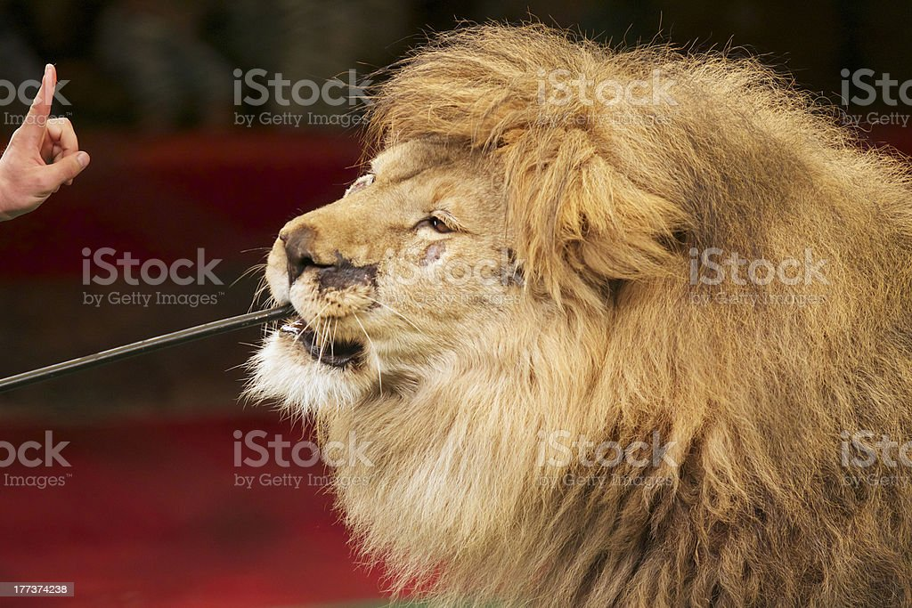 Feeding lion at the circus stock photo