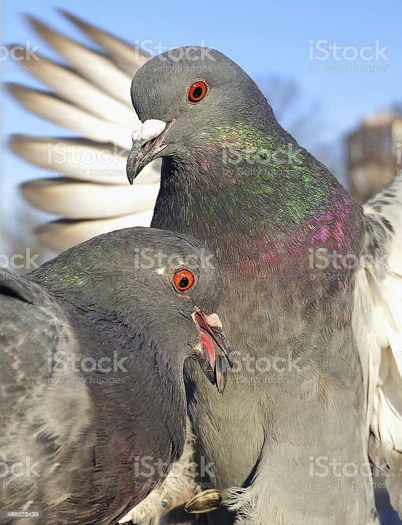 Alimentação de aves foto de stock royalty-free