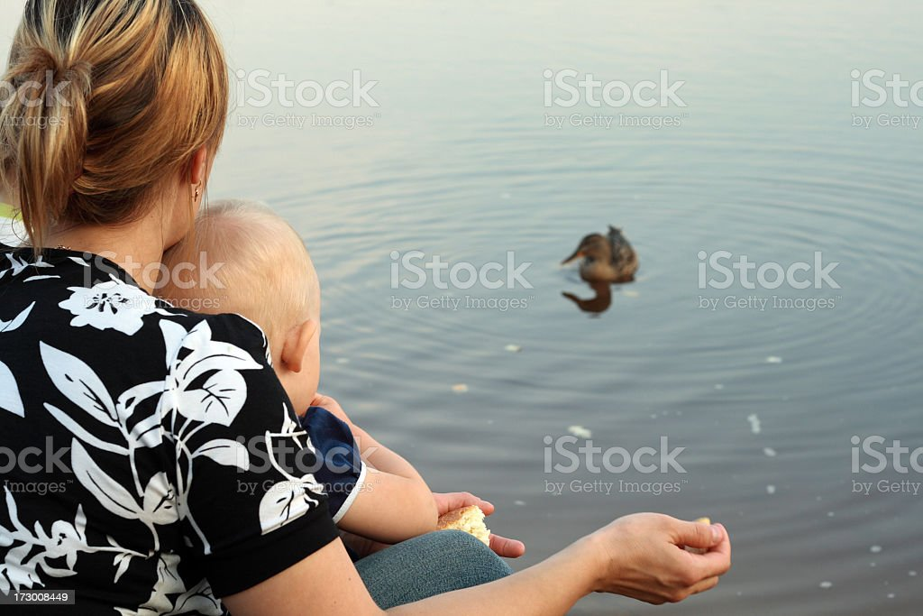 feeding of ducks stock photo