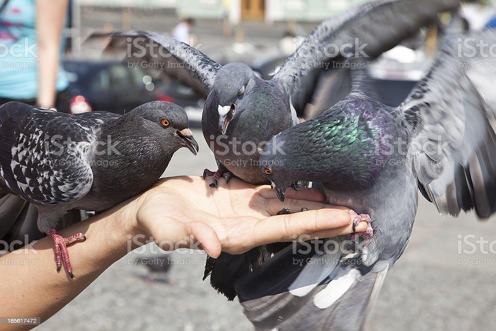 Feeding of pigeons stock photo
