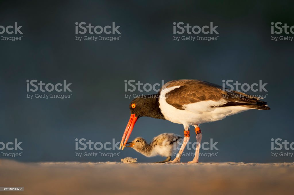 Feeding Oystercatcher Chick stock photo