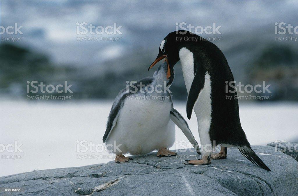 Feeding penguin stock photo