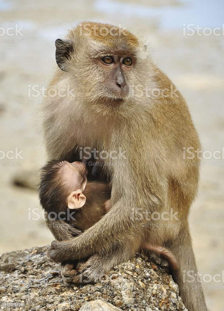 Feeding process of monkeys royalty-free stock photo
