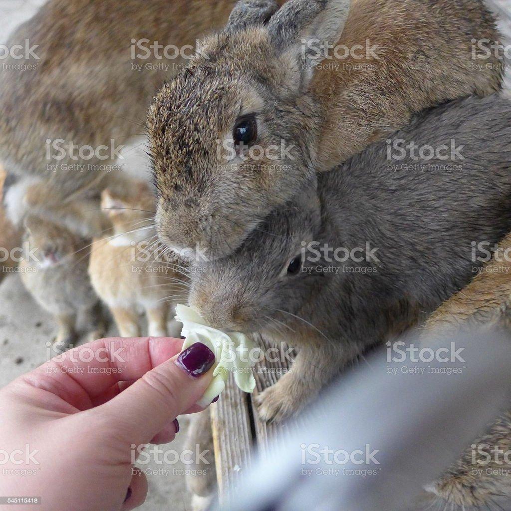 Feeding rabbits, Japan stock photo