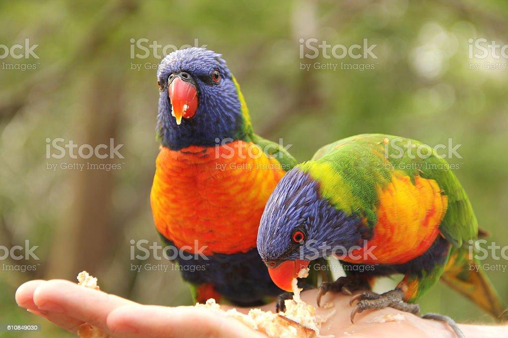 Feeding Rainbow Lorikeets stock photo