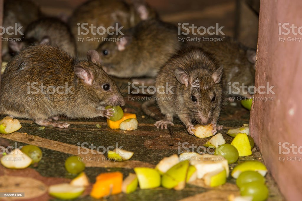 Feeding rats at Karni Mata temple stock photo