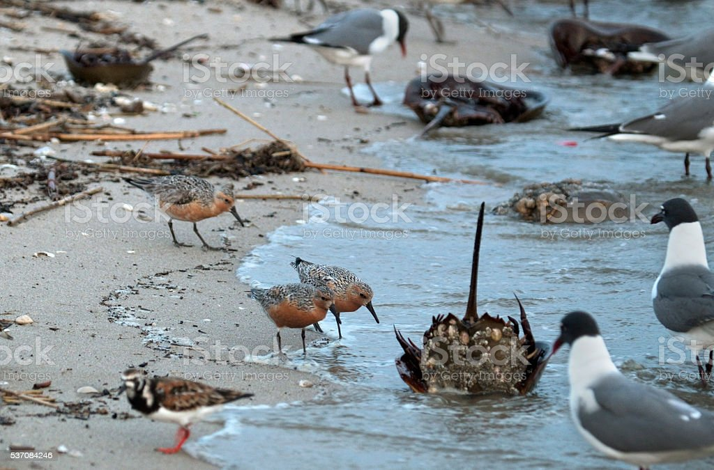 Feeding red knot sandpiper birds near horseshoe crab New Jersey stock photo