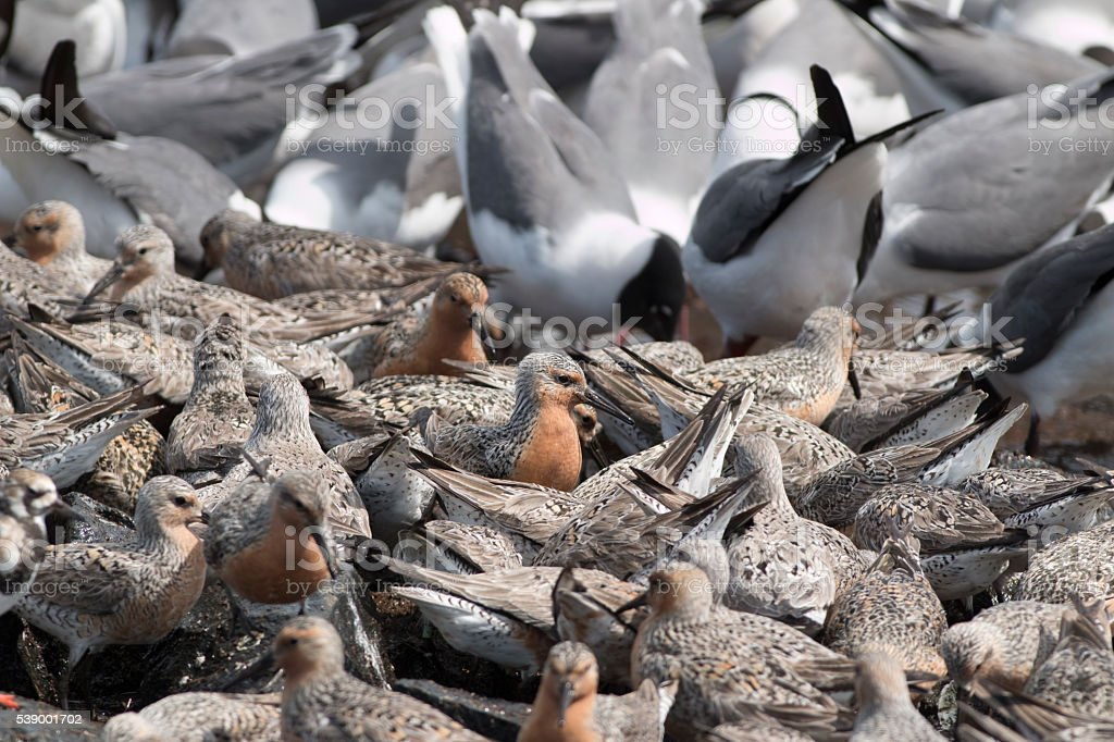 Feeding red knot sandpipers laughing gulls Reeds Beach New Jersey stock photo