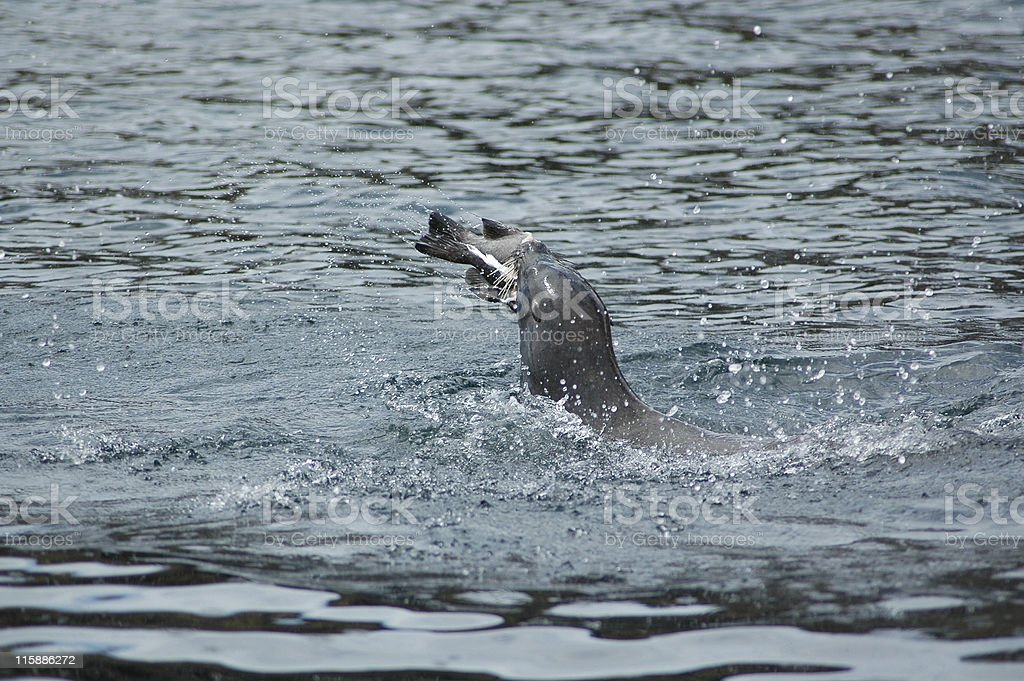 feeding sea lion, Zalophus californianus wollebacki stock photo