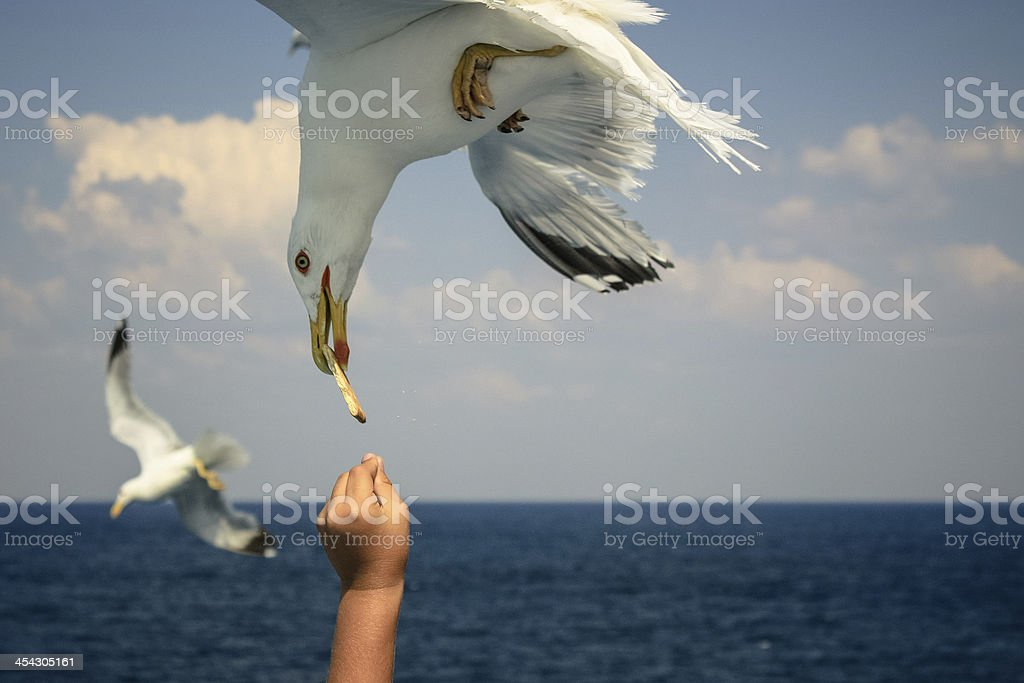 Feeding Seagull royalty-free stock photo