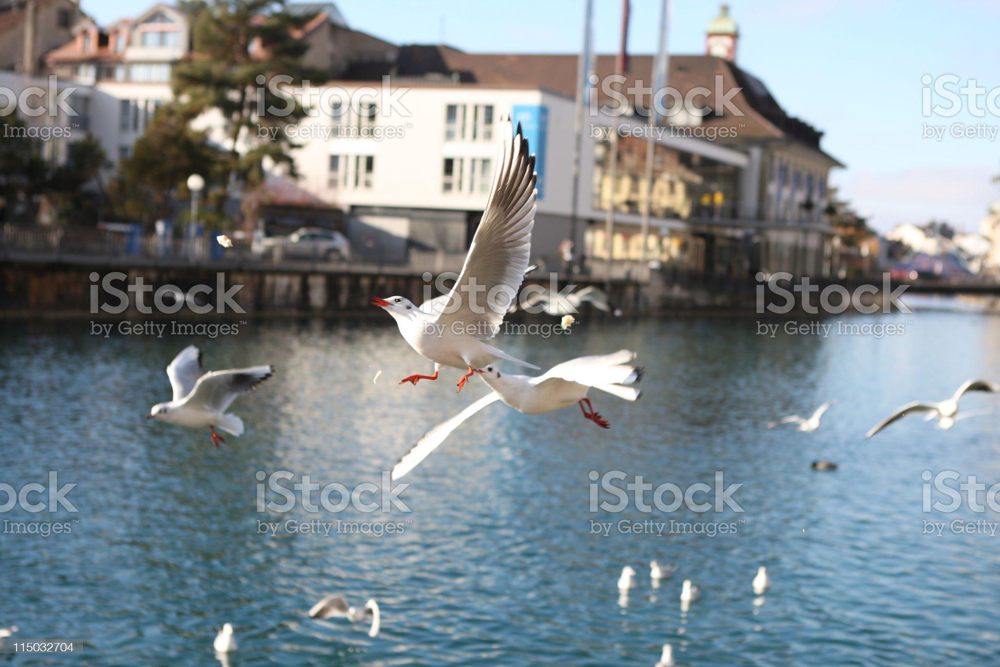 Feeding  seagulls at the city of Thun royalty-free stock photo