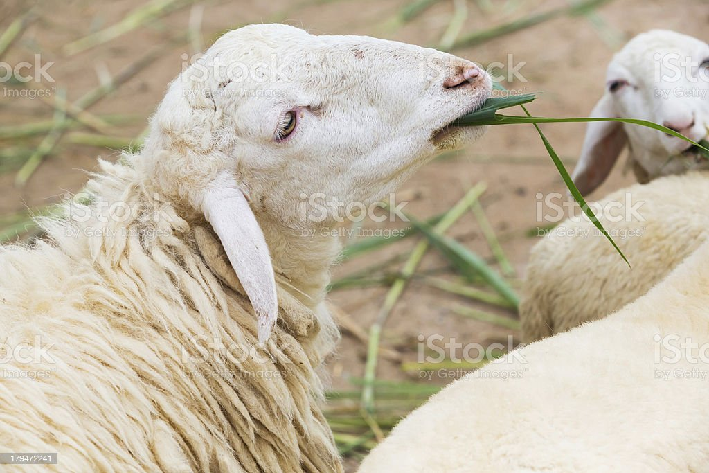 Feeding sheep stock photo