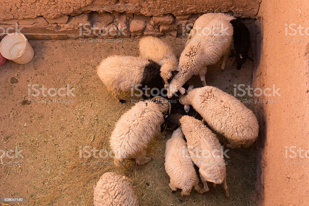 feeding sheep stock photo