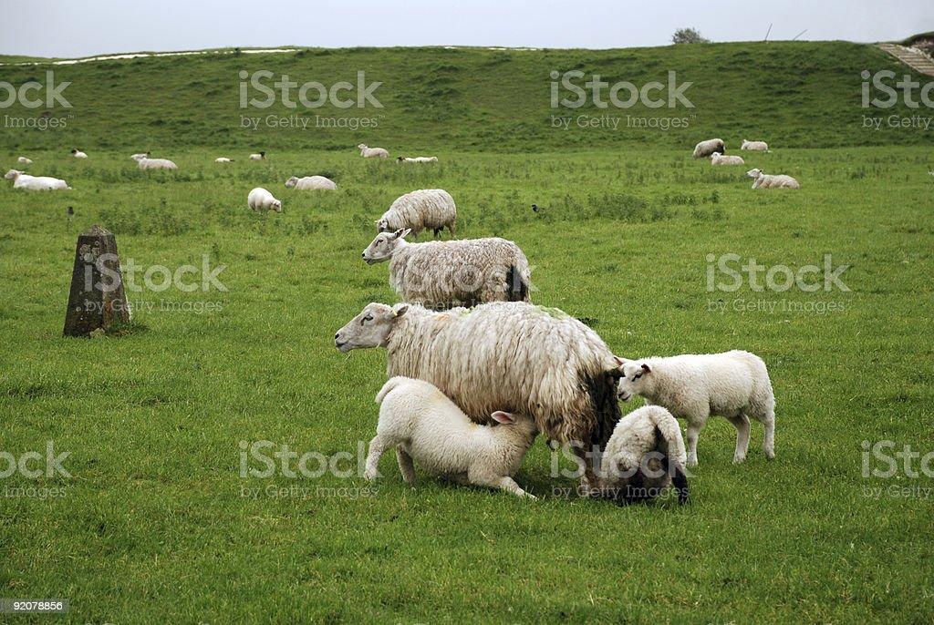 Feeding Sheep royalty-free stock photo
