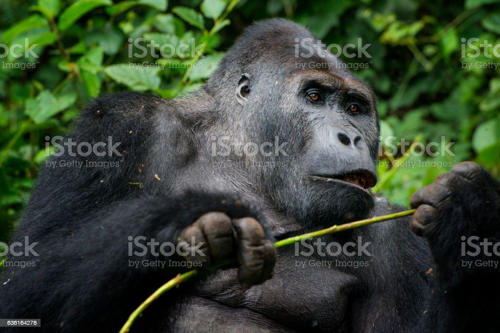Feeding Silverback Gorilla, wildlife shot, Congo stock photo