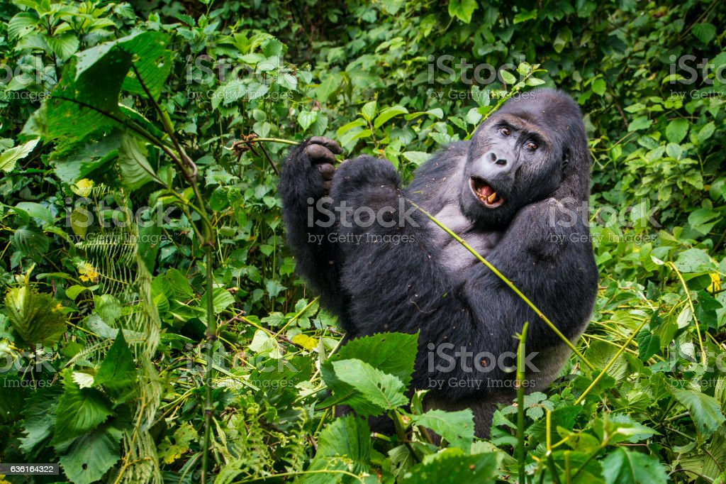 Feeding Silverback Gorilla, wildlife shot, Congo stock photo