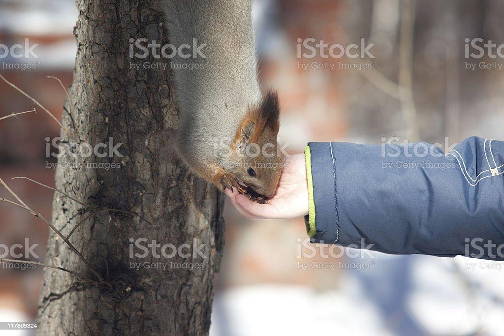 feeding squirrel royalty-free stock photo