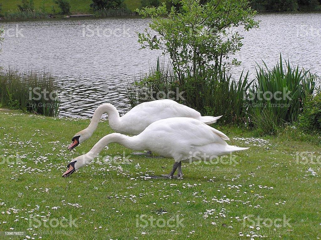 Feeding Swans stock photo