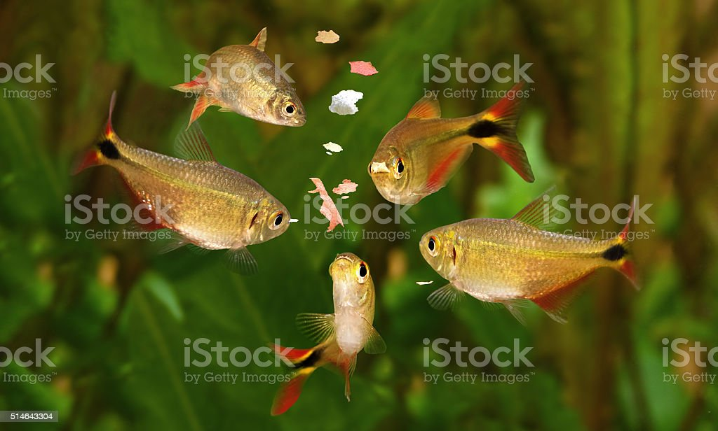 feeding swarm buenos aires tetra aquarium fish eating flake food stock photo