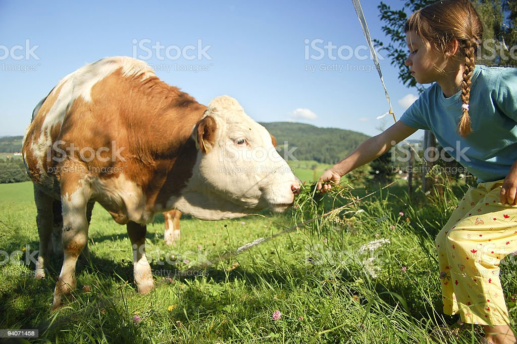 Feeding the Cow stock photo