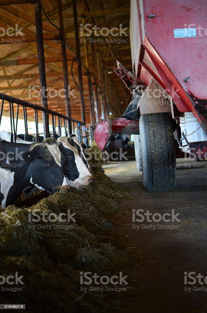 Feeding the cows stock photo