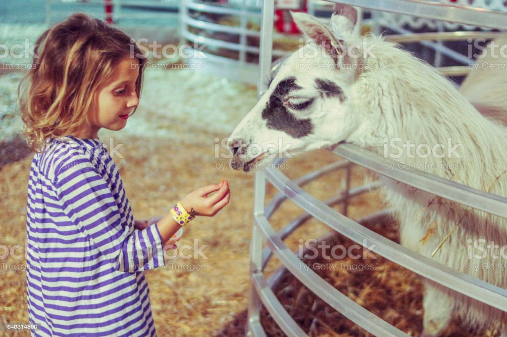 Feeding the llama stock photo