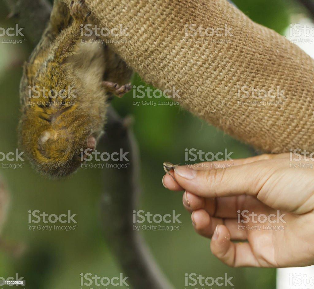 Feeding the marmoset stock photo