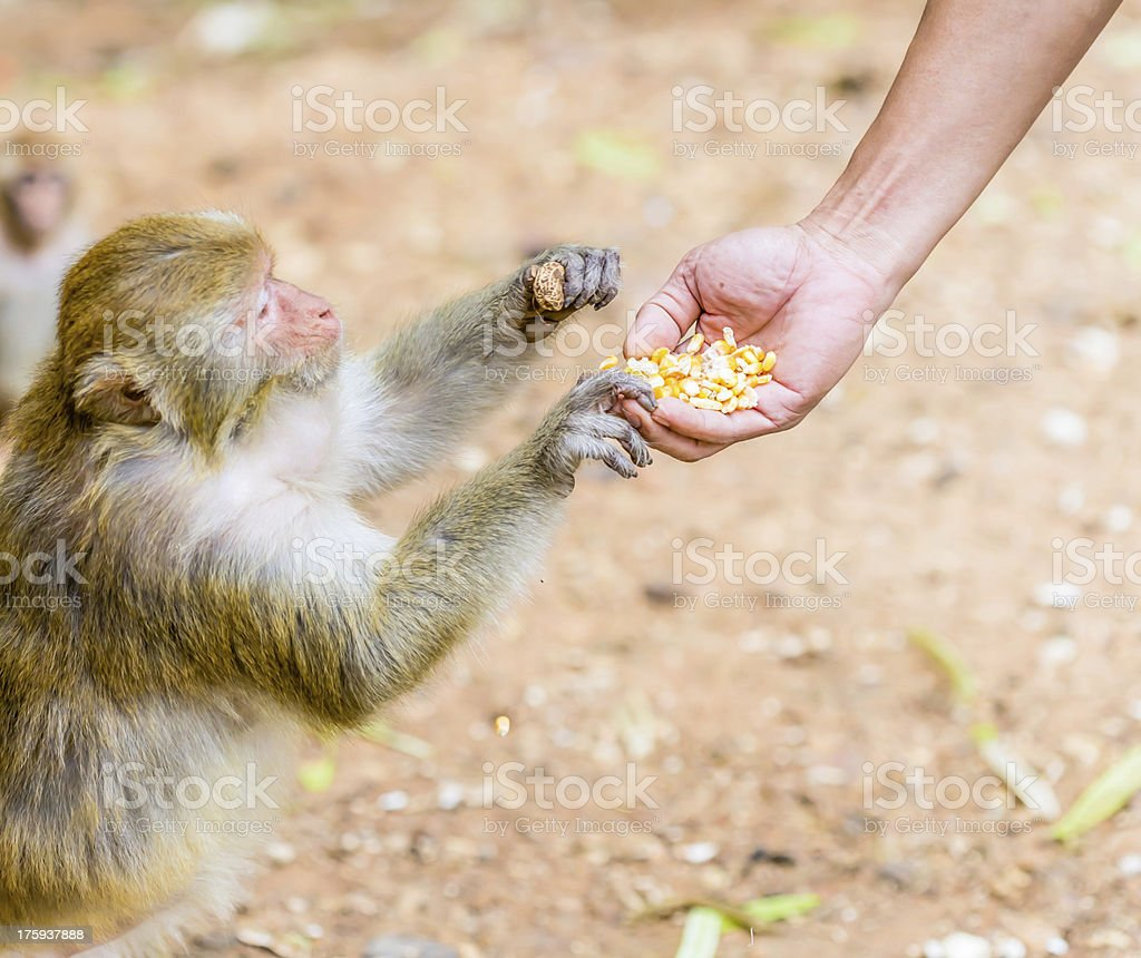 Feeding the monkey stock photo