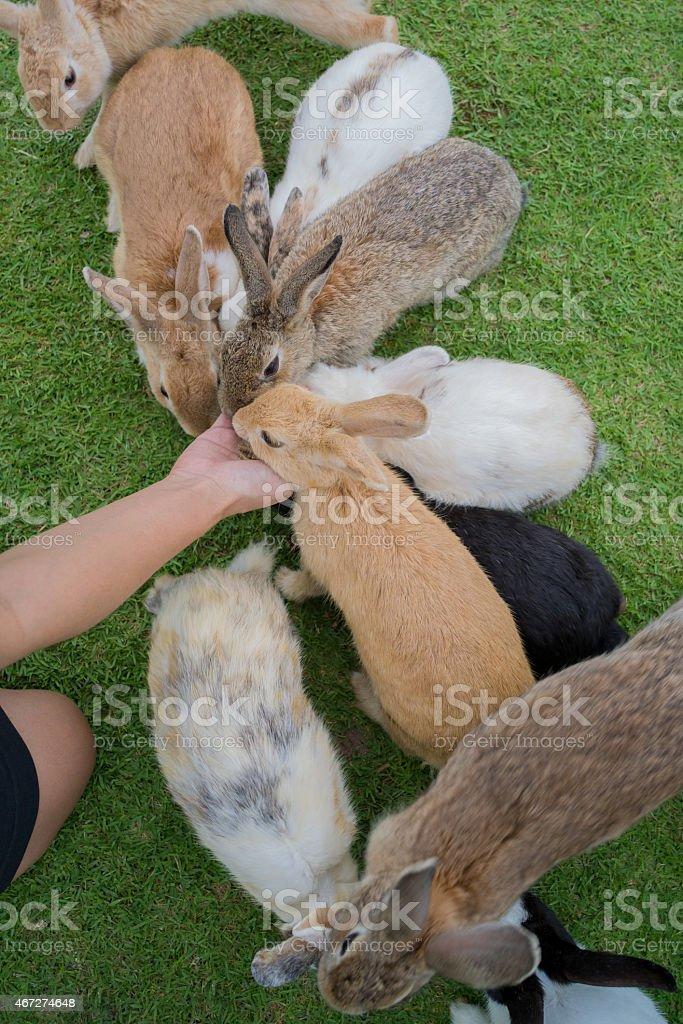 Nourrir les lapins photo libre de droits