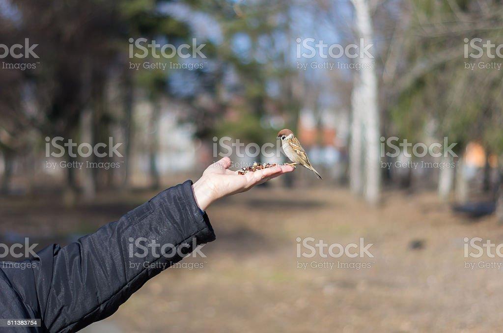 Feeding the sparrow with hazelnuts from palm. stock photo