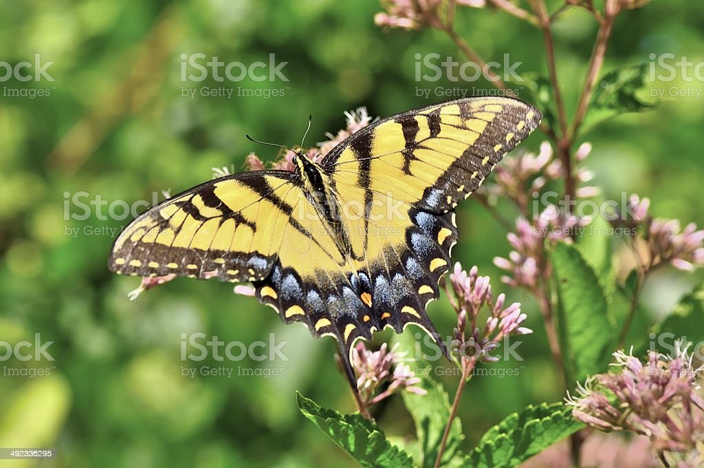 Feeding Tiger Swallowtail stock photo