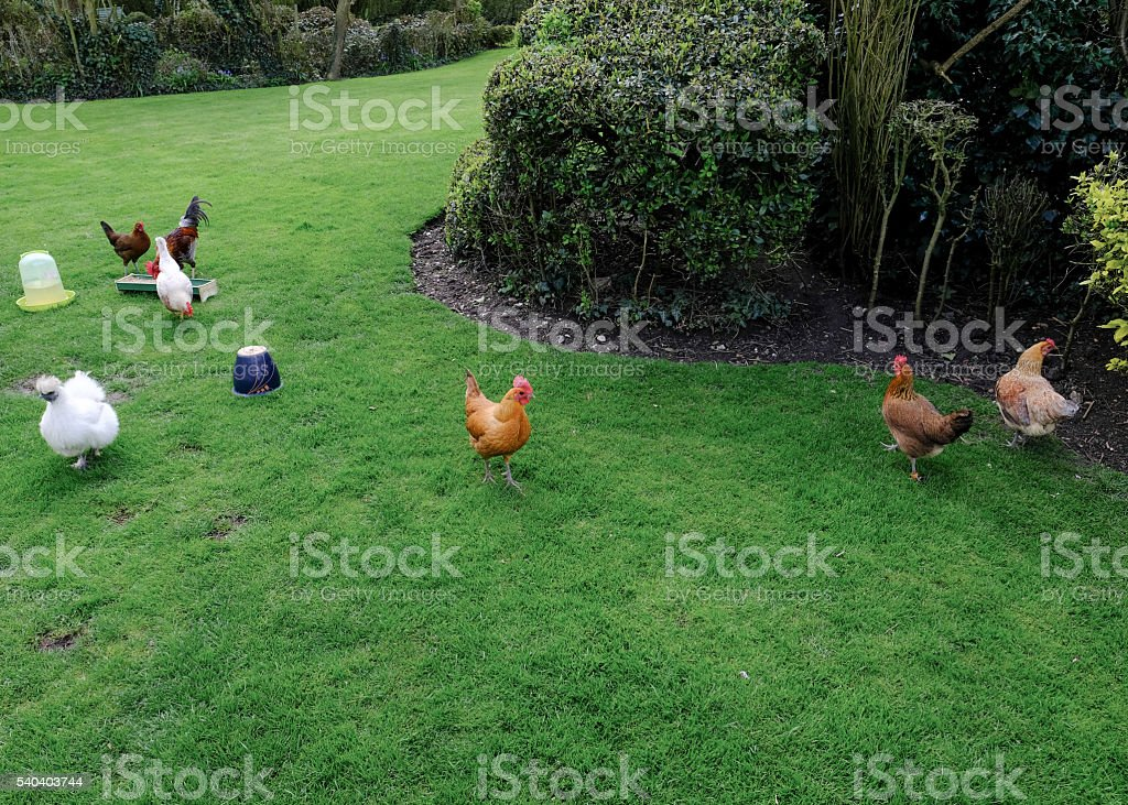 Feeding time for domesticated chickens in a garden stock photo