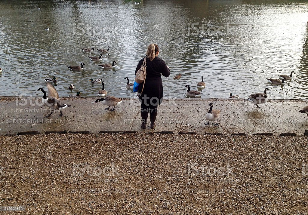 Feeding waterbirds at River Thames stock photo