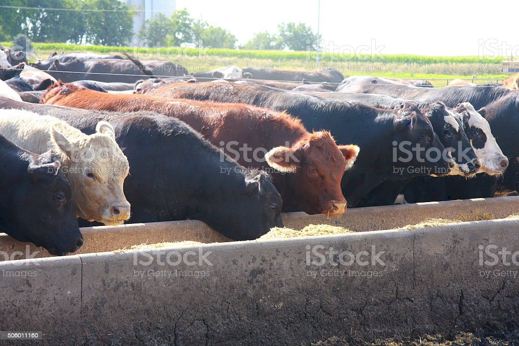 Feedlot Cattle Eat Breakfast on an Iowa Farm stock photo
