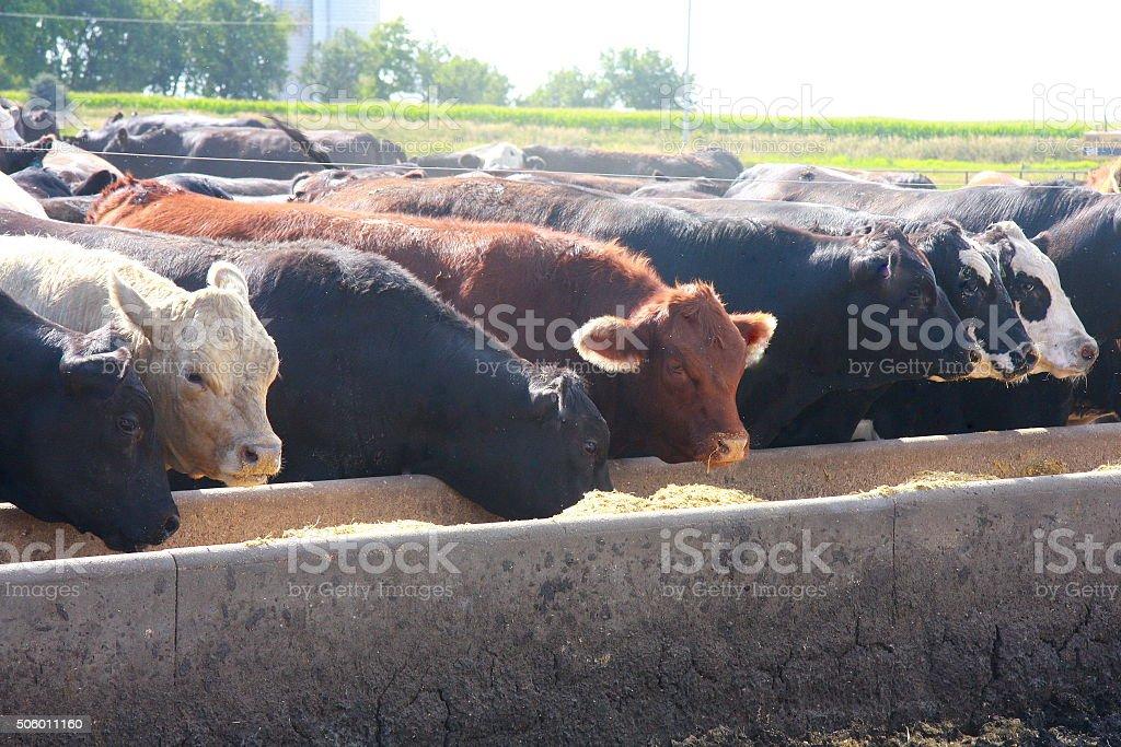 Feedlot Cattle Eat Breakfast on an Iowa Farm stock photo