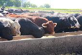 Feedlot Cattle Eat Breakfast on an Iowa Farm