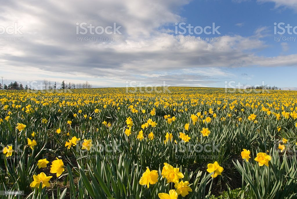 Feel the Spring, field of Daffodils, Victoria, B.C. royalty-free stock photo