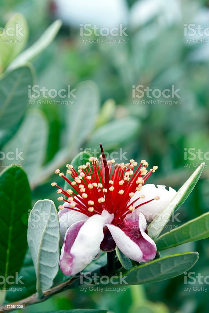 Feijoa Blossom (Acca sellowiana) stock photo