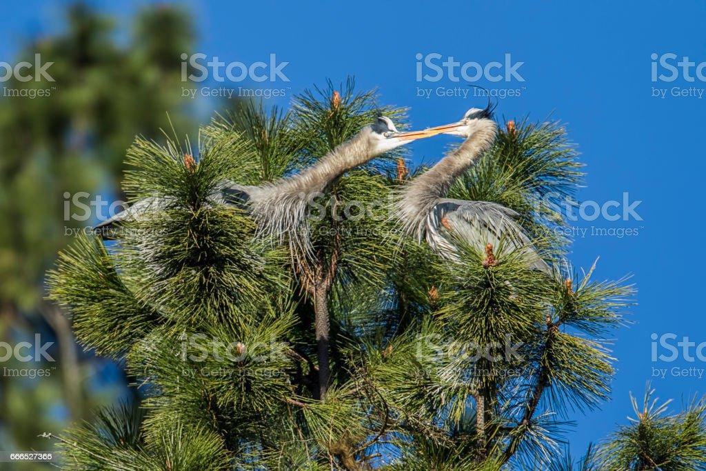 Feisty blue herons. stock photo