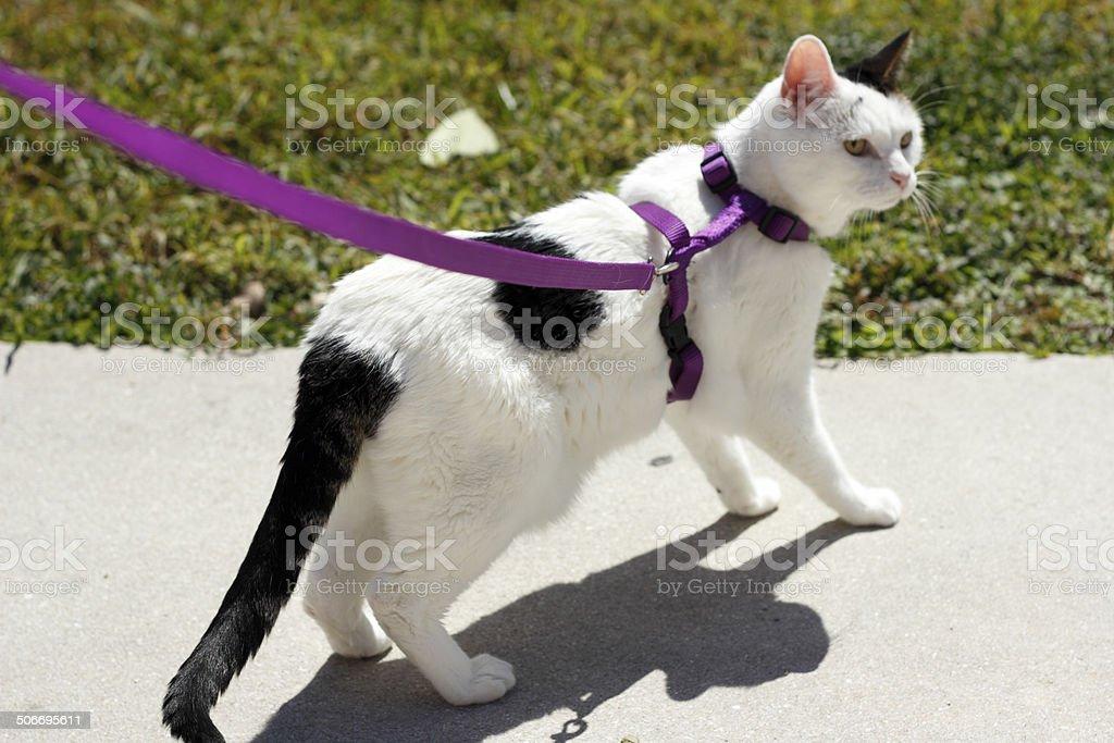 Feline Wearing a Harness stock photo