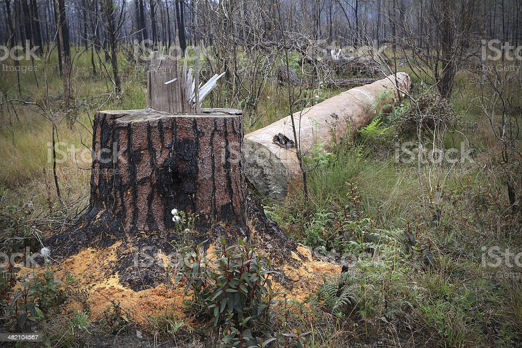 fell tree stump in forest stock photo