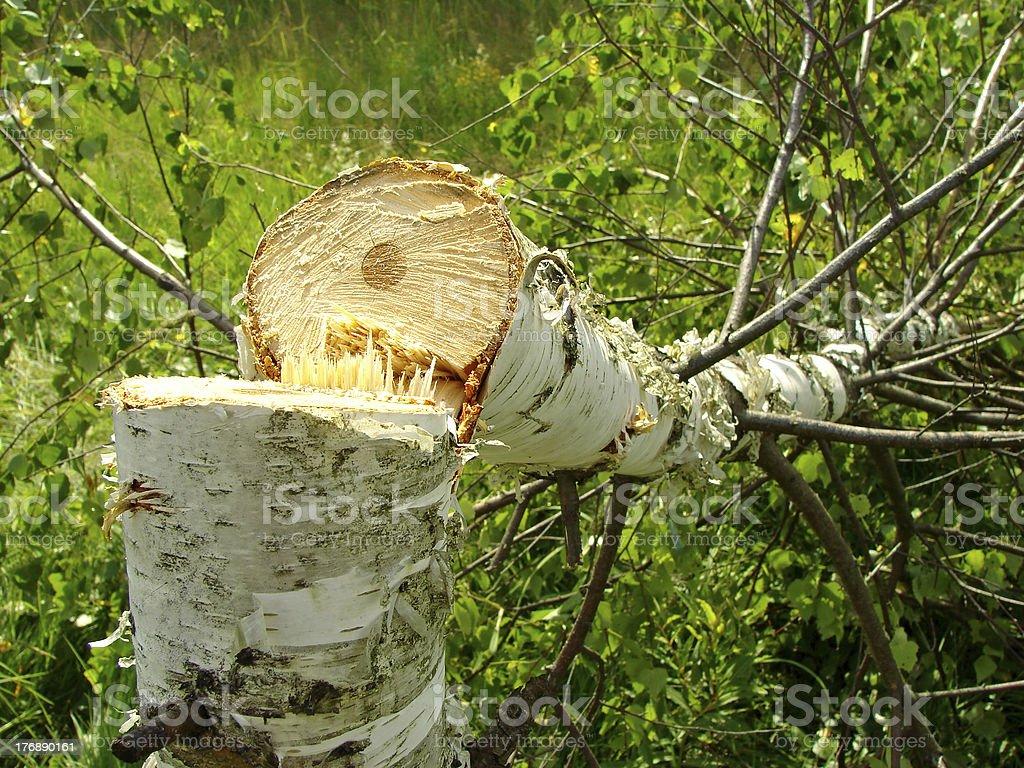 felled birch royalty-free stock photo