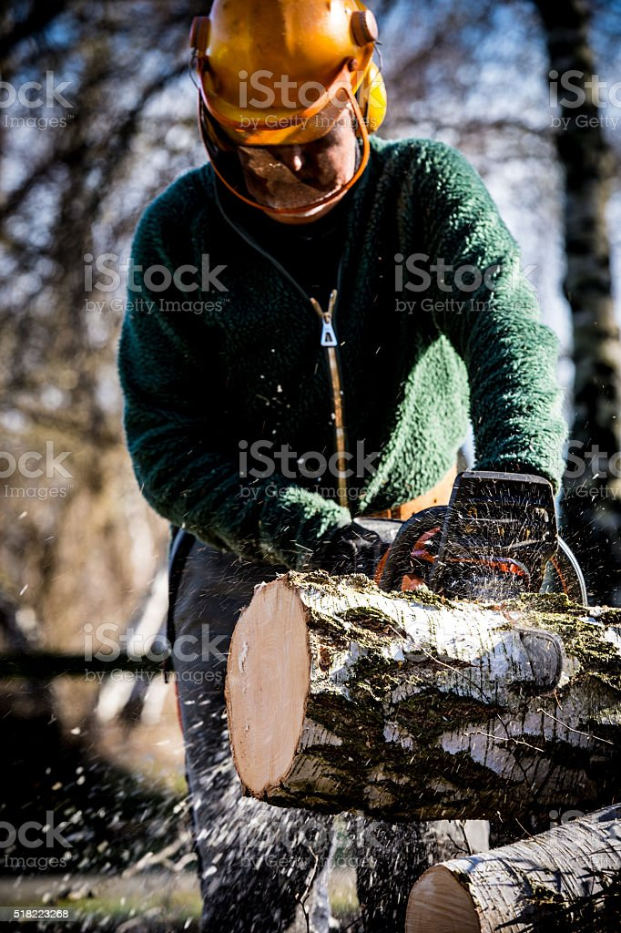 Felling and cutting up a birch with a chainsaw stock photo