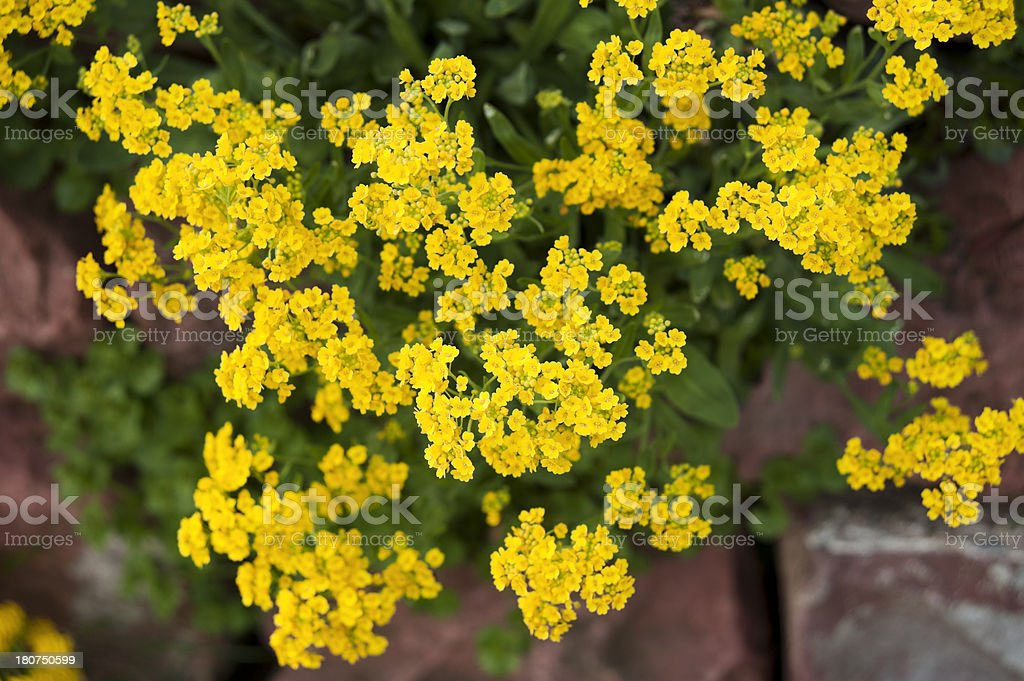 Felsensteinkraut (Alyssum saxatile) stock photo